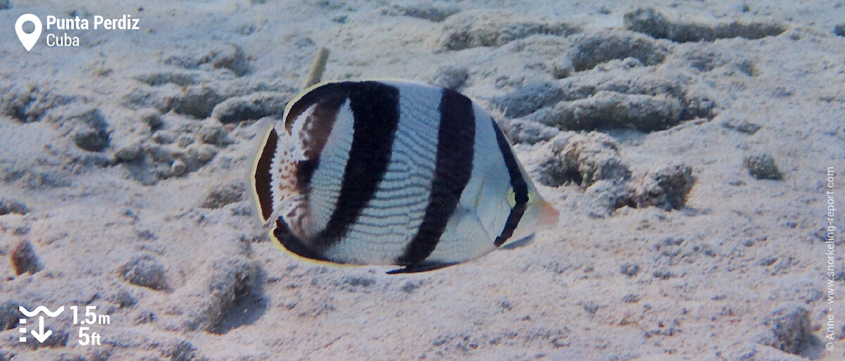 Banded butterflyfish in Punta Perdiz