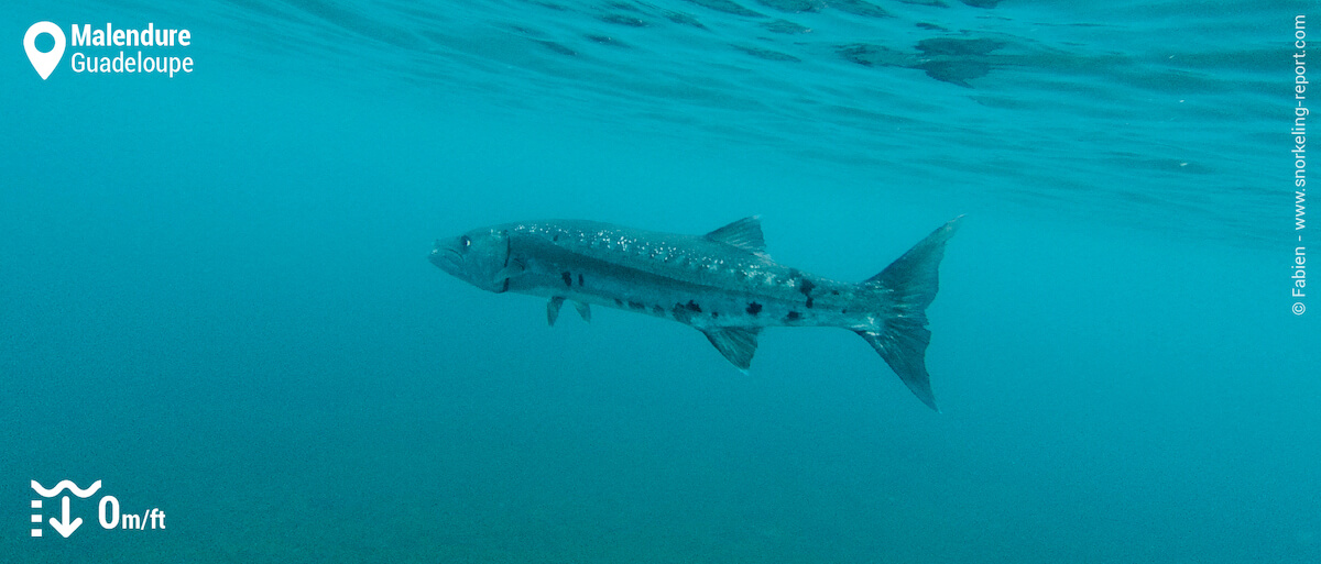 Barracuda in Malendure