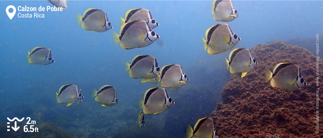 Blacknosed butterflyfish at Calzon de Pobre