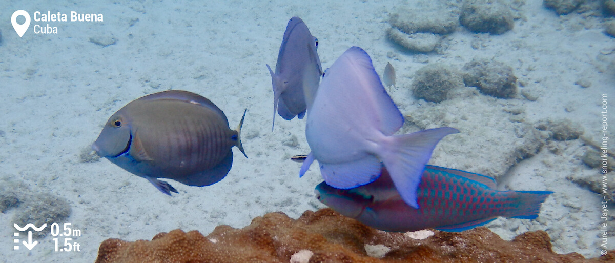 Blue tang in Caleta Buena