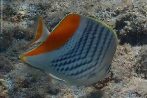 Chaetodon madagaskariensis