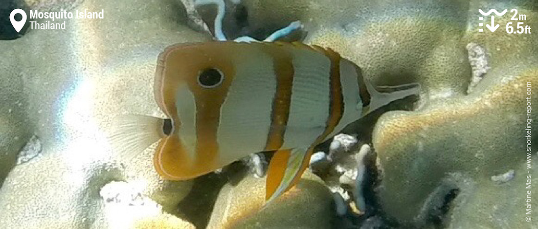Copperband butterflyfish at Mosquito Island