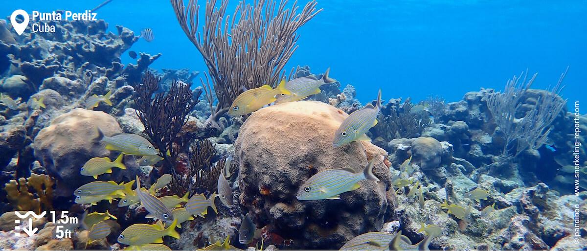 Coral reef and grunt at Punta Perdiz