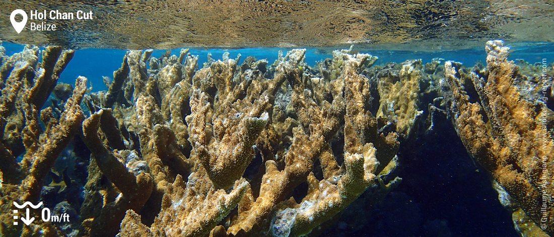 Coraux corne d'élan à Hol Chan Cut, Belize
