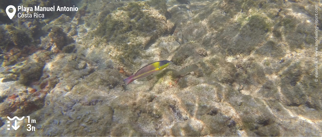 Cortez rainbow wrasse at Playa Manuel Antonio