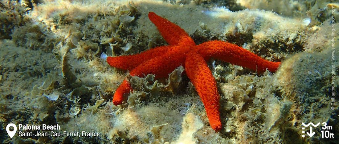 Etoile de mer rouge au Paloma Beach, Saint-Jean-Cap-Ferrat