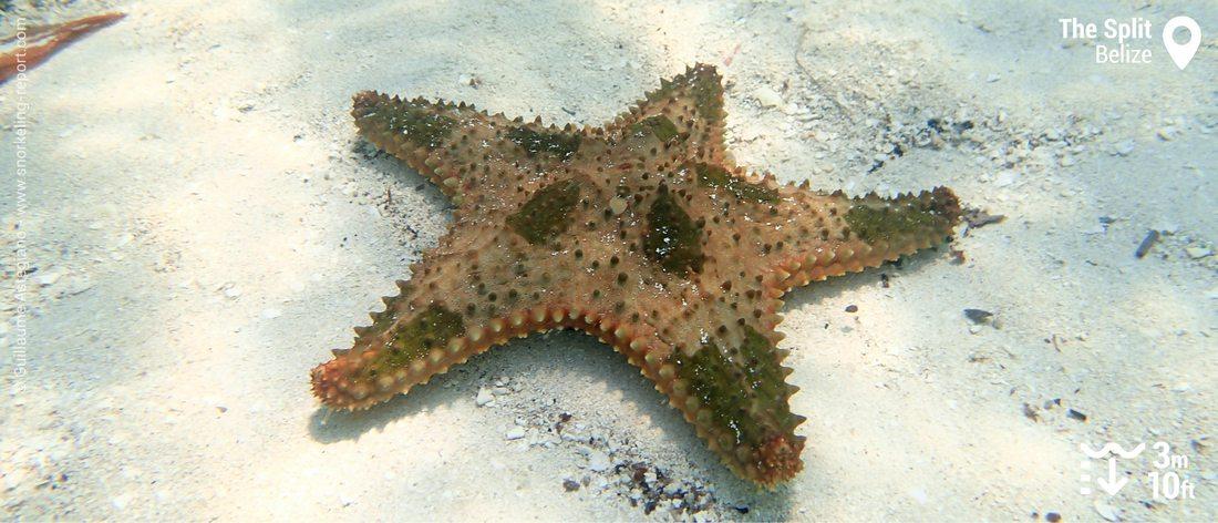 Etoile de mer au Split de Caye Caulker