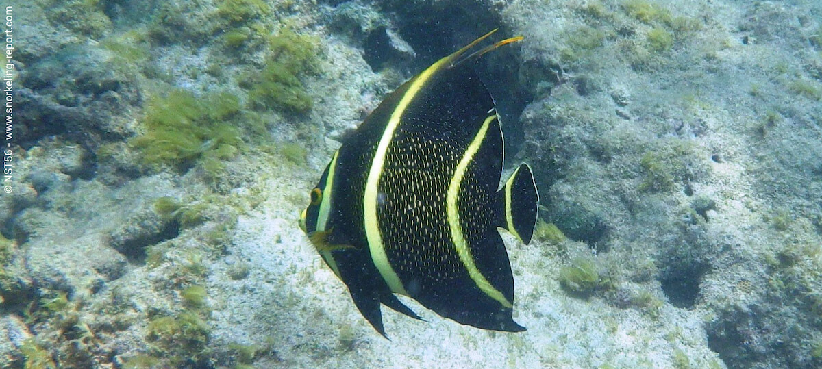 French angelfish in Antigua