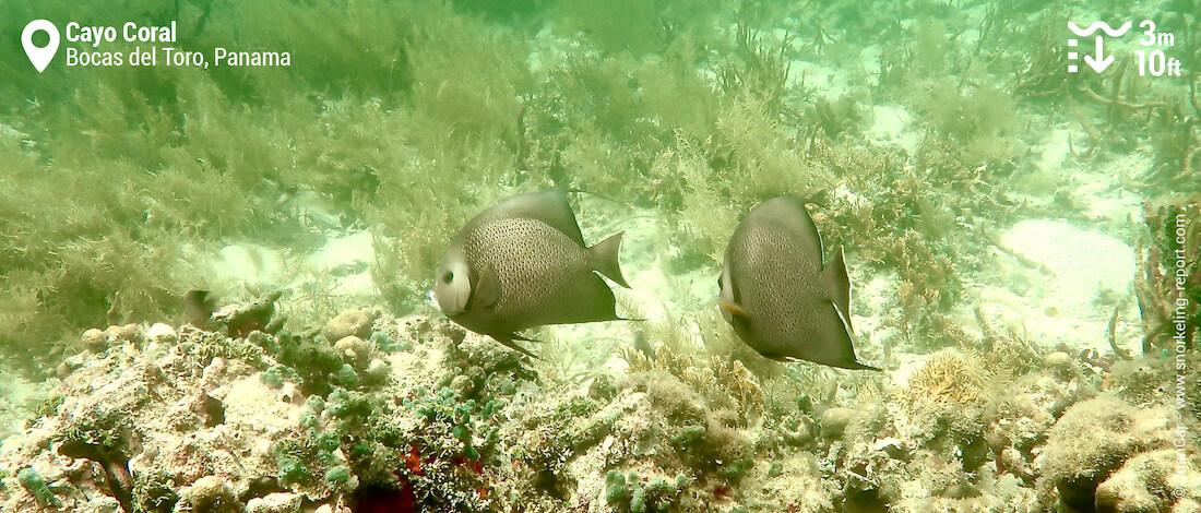 French angelfish pair in Cayo Coral