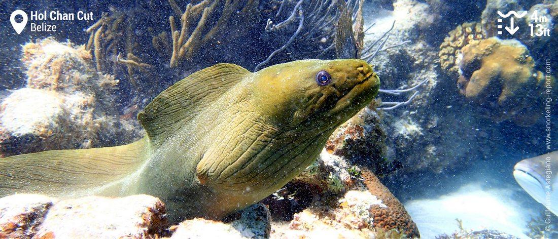 Green moray eel at Hol Chan Cut