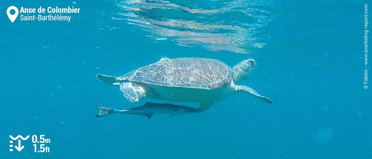 Green sea turtle and sharksucker