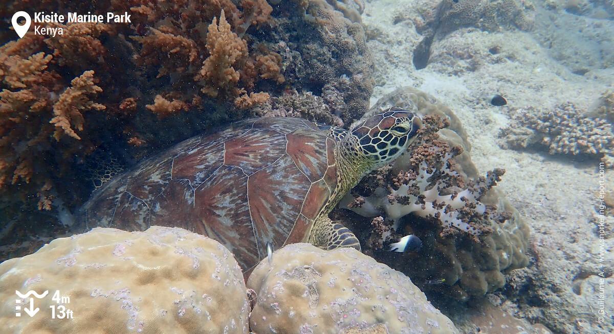 Green sea turtle at Kisite Marine Park