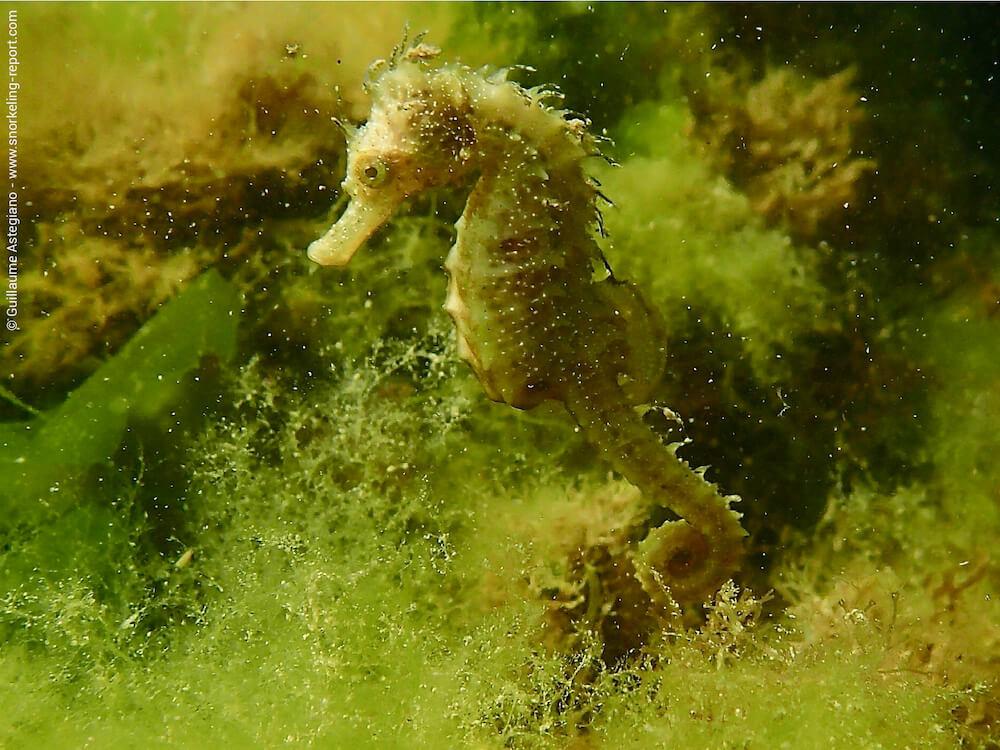 Hippocampus guttulatus