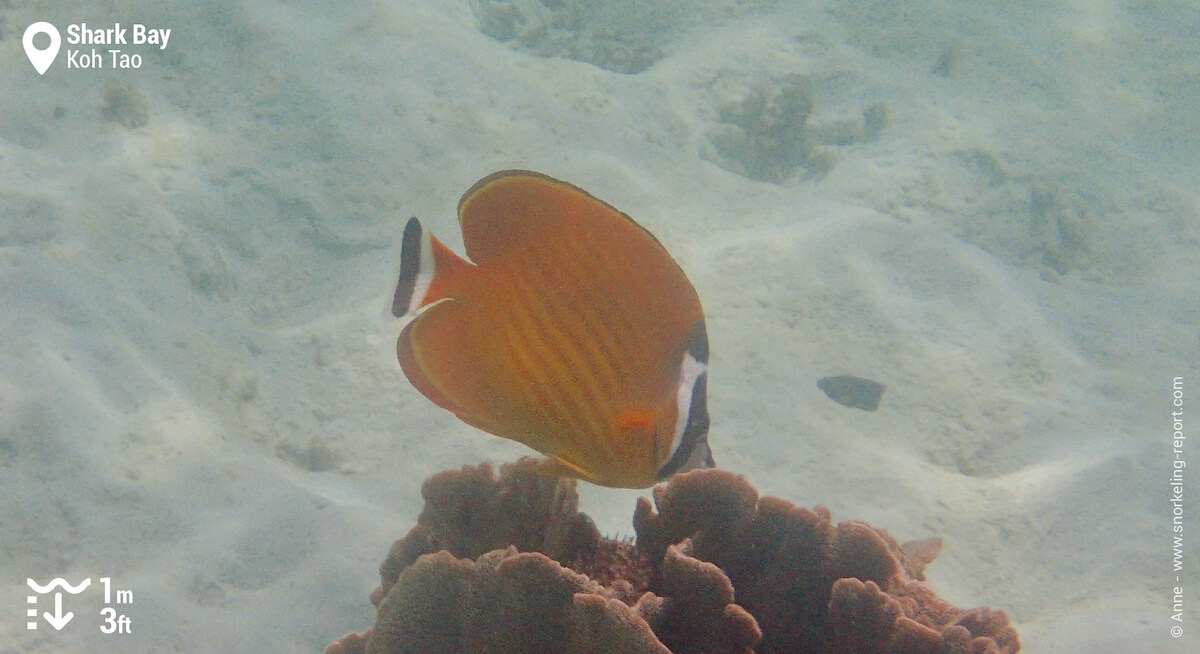 Hong Kong butterflyfish in Shark Bay