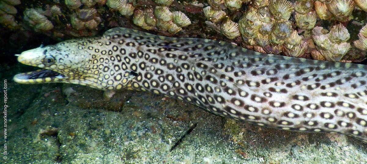 Jewel moray eel in Playa Penca