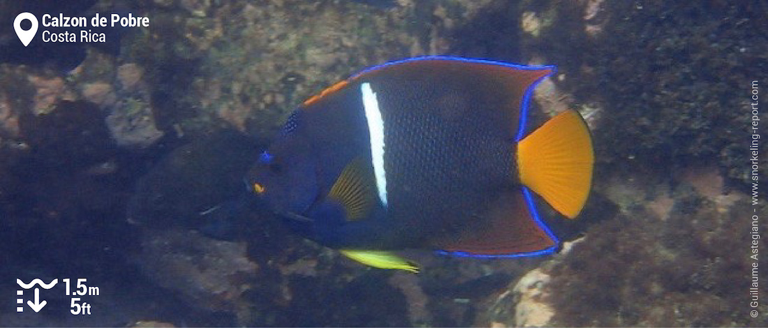 King angelfish at Calzon de Pobre