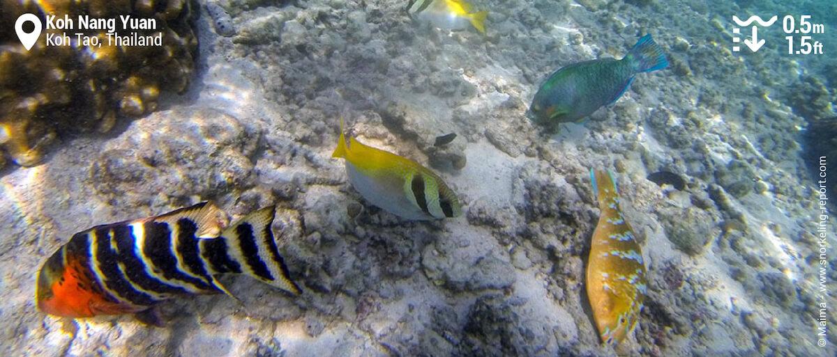 Reef fish in Koh Nang Yuan