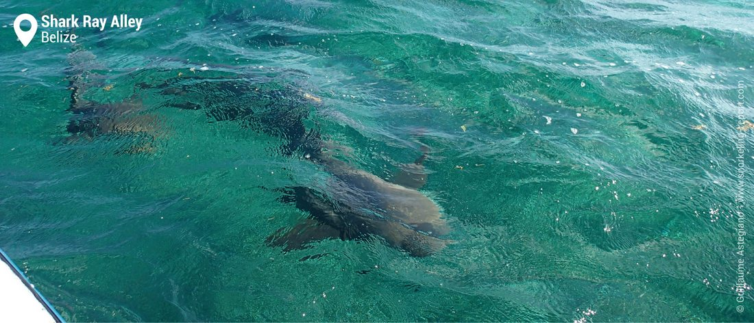 Snorkeling with nurse sharks at Shark Ray Alley, Belize