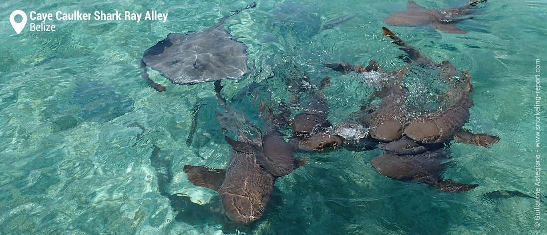 Snorkeling with nurse sharks at Caye Caulker, Belize