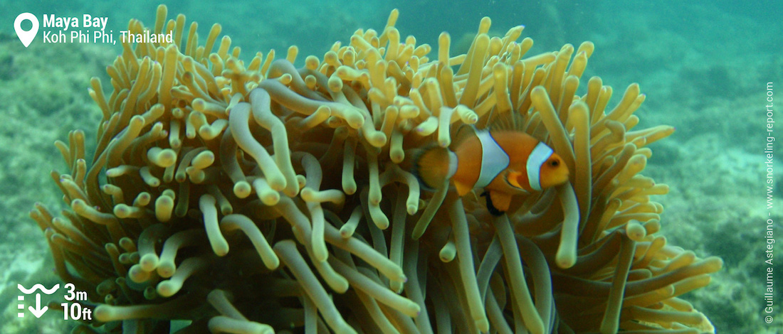 Ocellaris clownfish at Maya Bay