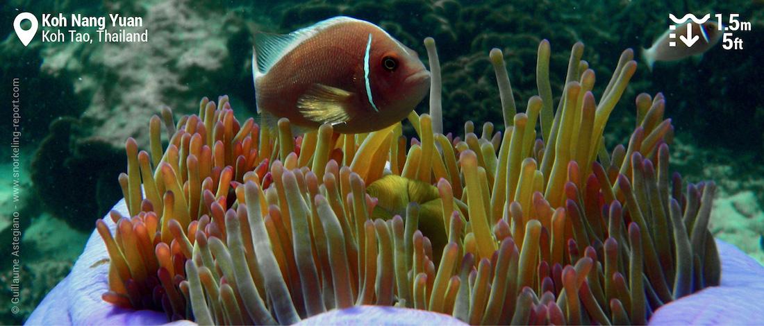Pink skunk clownfish at Koh Nang Yuan