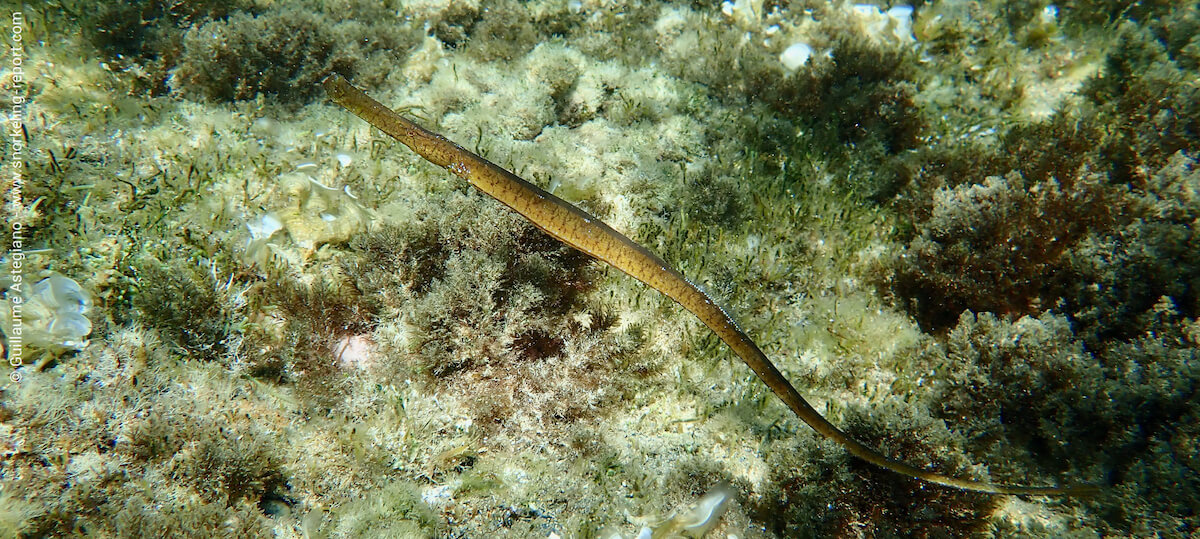 The shallow seagrass beds of Cabo de Palos are great locations to spot broadnosed pipefish (here, in Islotes del Descargador).