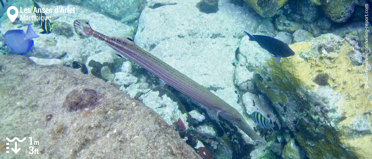 Chinese trumpetfish at Anses d'Arlet