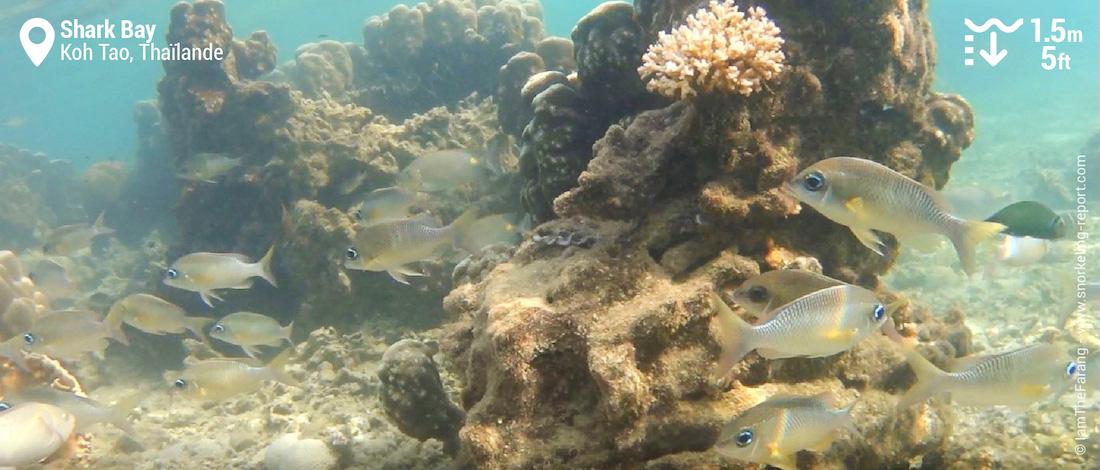 Récif à Shark Bay, Koh Tao