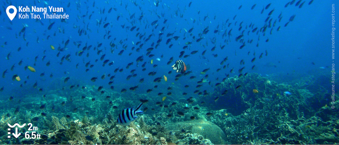 Récif corallien à Koh Nang Yuan, Thaïlande