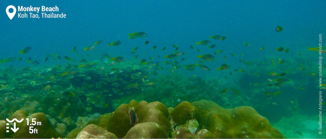Récif corallien à Monkey Beach, Koh Phi Phi