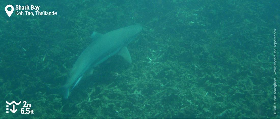Requin à pointes noires à Shark Bay, Koh Tao