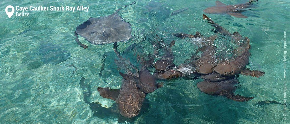 Snorkeling avec les requins-nourrices et les raies de Shark Ray Alley