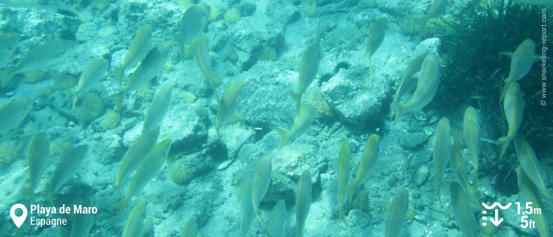 Banc de saupes de Méditerranée à Playa de Maro