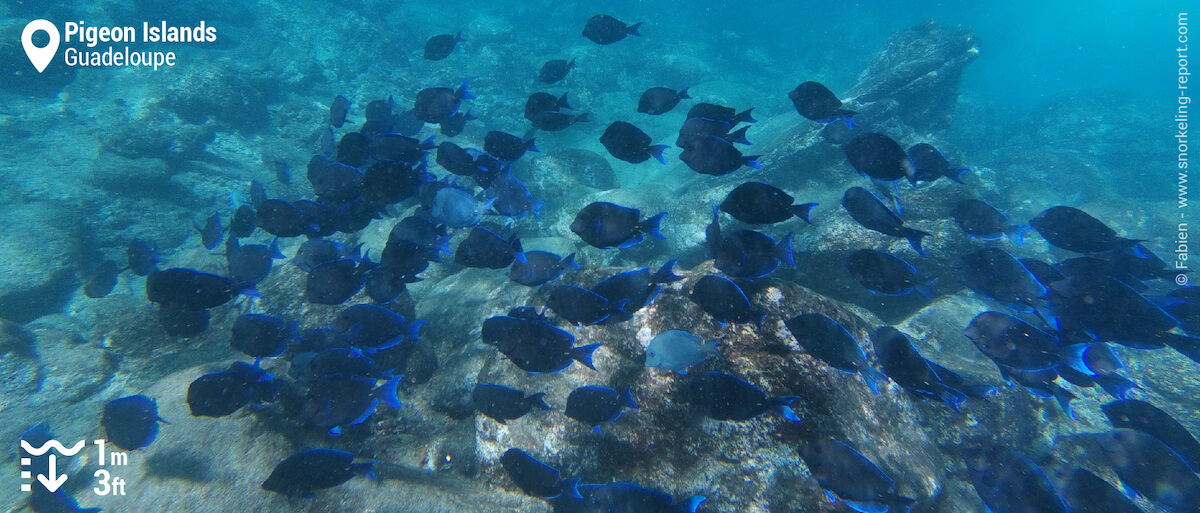 School of blue tang at Pigeon Islands