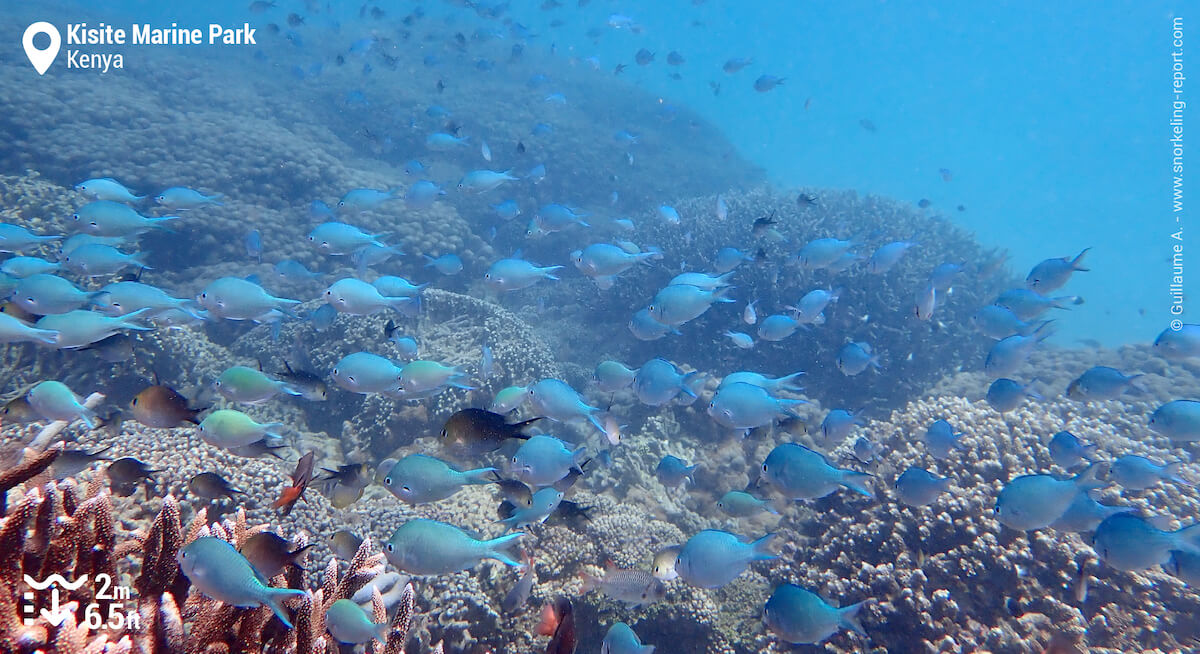 Coral reef and chromis in Kisite