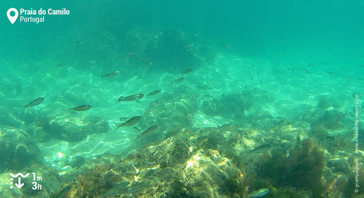 School of silver fish at Praia do Camilo