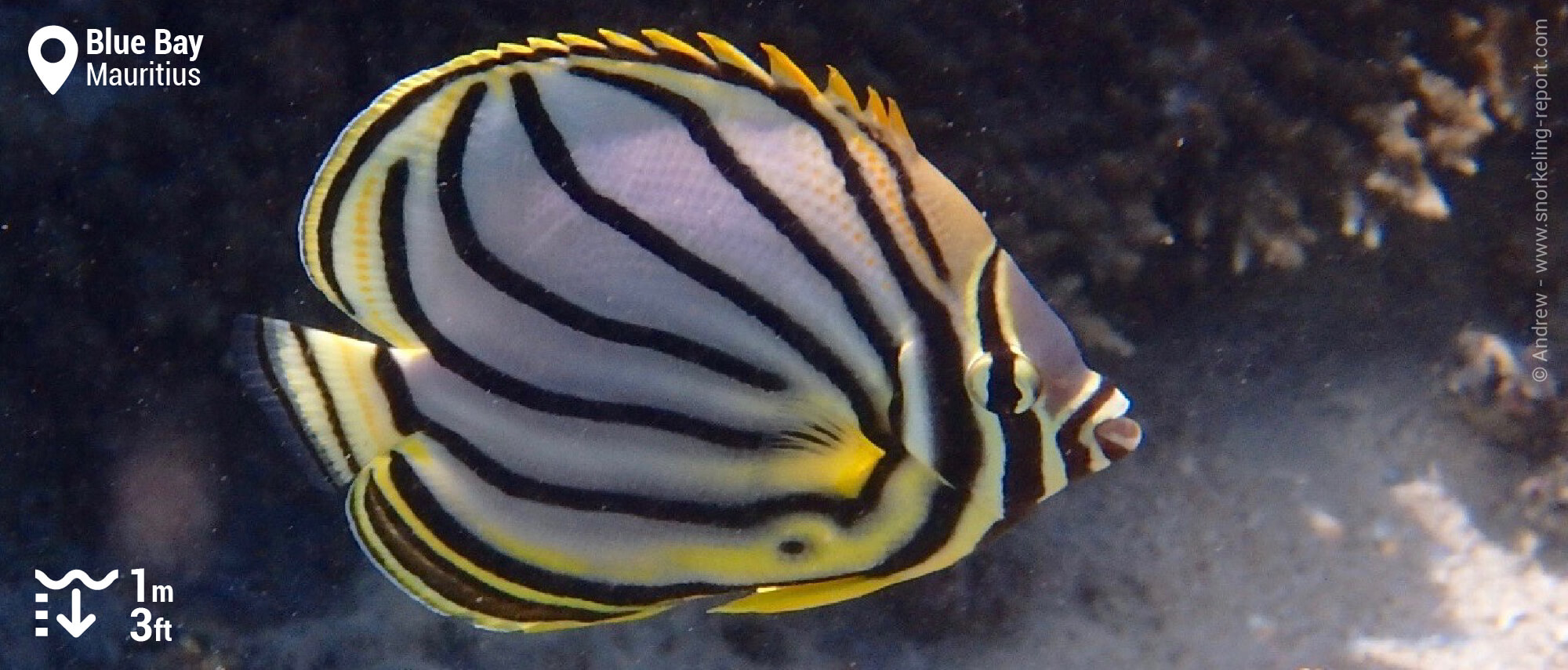 Scrawled butterflyfish in Blue Bay, Mauritius