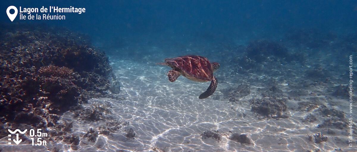 Snorkeling avec une tortue verte dans le Lagon de l'Hermitage