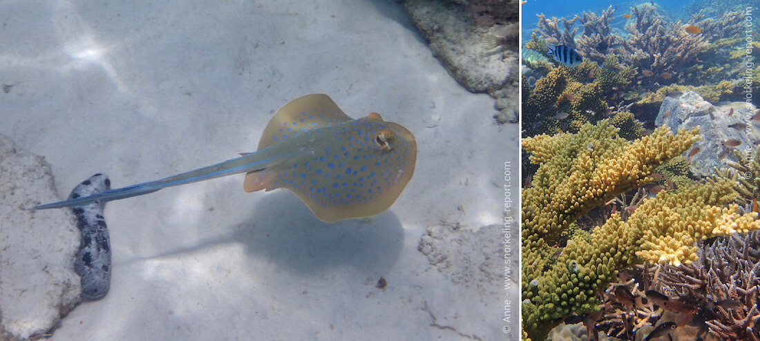 Bluespotted stingray and coral reef at Rawa Island