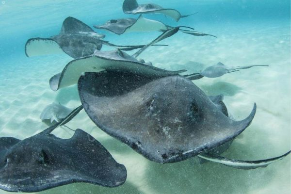 Snorkeling with rays