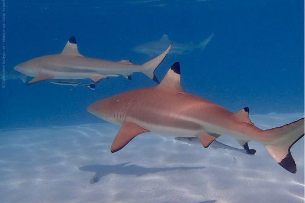Snorkeling avec des requins
