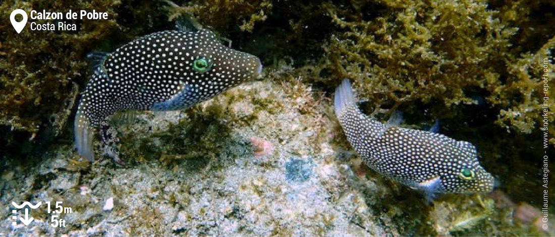 Spotted sharpnosed puffer at Calzon de Pobre