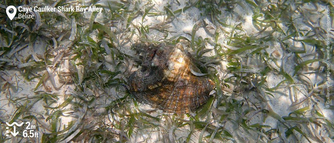 Strombe géant à Shark Ray Alley