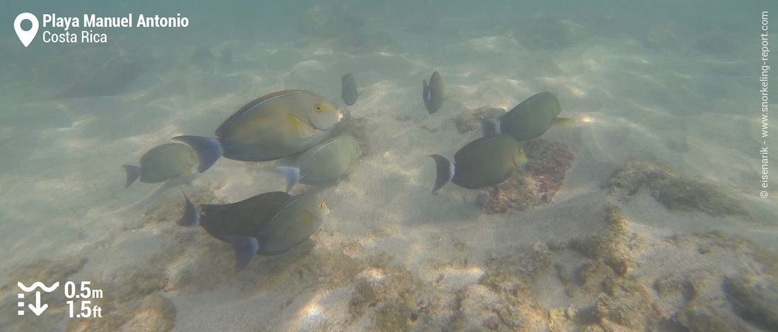 Surgeonfish at Playa Manuel Antonio