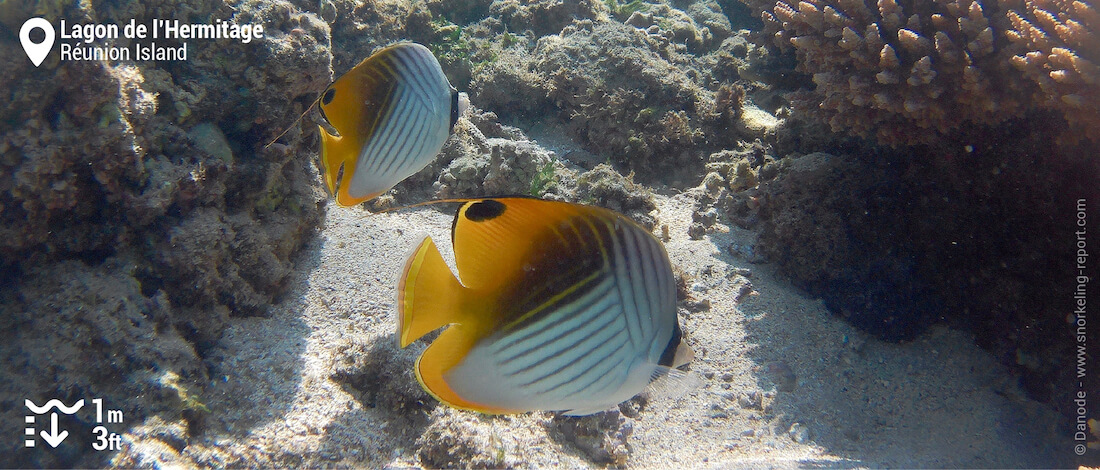 Threadfin butterflyfish at Hermitage lagoon