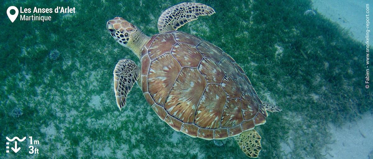 Green sea turtle in Anses d'Arlet