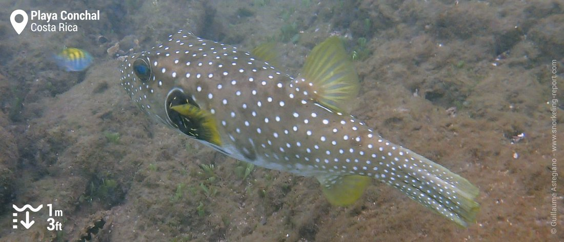 White spotted puffer at Playa Conchal