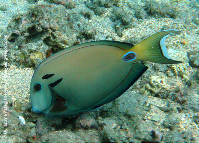 Doubleband surgeonfish