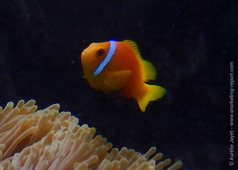 Poisson-clown des Maldives