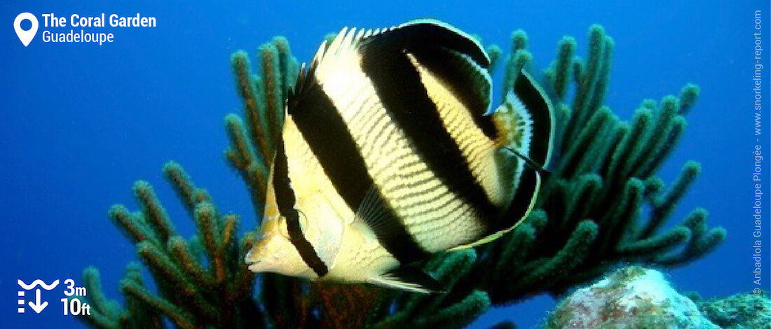 Banded butterflyfish at the Coral Garden, Pigeon islets